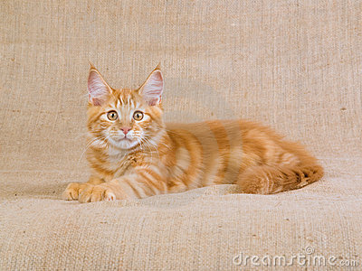 Cute red Maine Coon MC kitten on hessian
