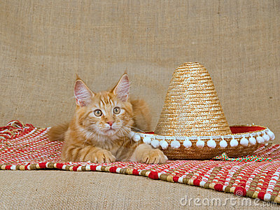 Cute red Maine Coon MC kitten with sombrero