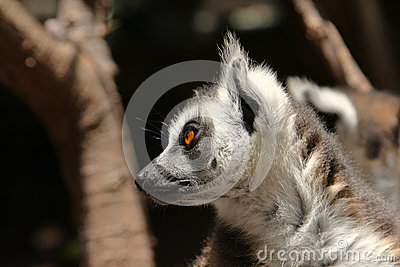 Cute ring-tailed lemurs