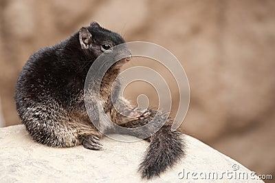 Cute Rock squirrel