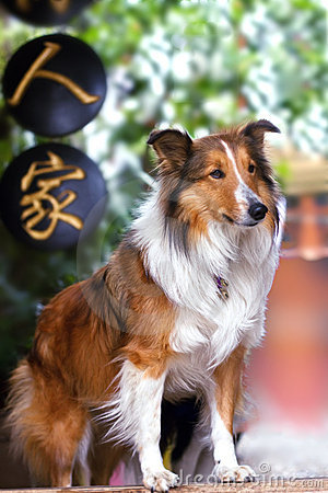 Cute rough collie standing at the yard door