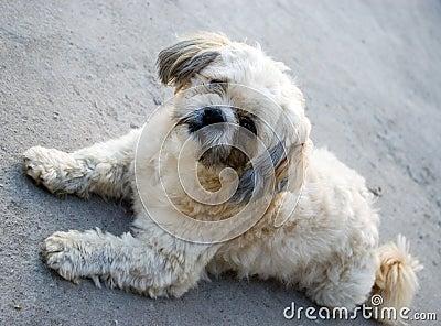 Cute shitzu dog