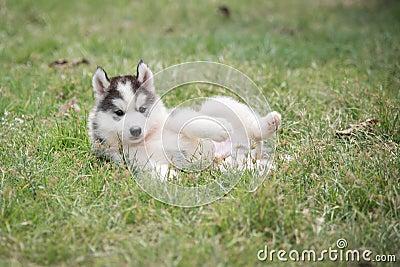 Cute siberian husky puppy laying Stock Photo