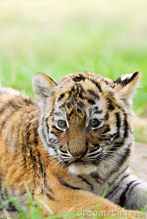 Free Cute Siberian Tiger Cub Royalty Free Stock Photos - 6054538