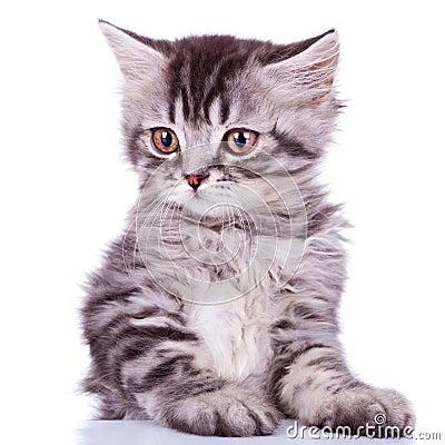 Cute silver tabby baby cat
