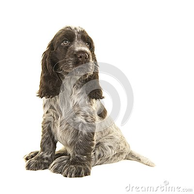 Free Cute Sitting Chocolate And White Cocker Spaniel Puppy Dog Lookin Royalty Free Stock Images - 101751209