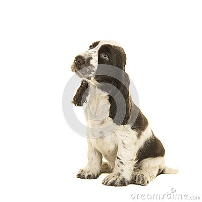 Free Cute Sitting White And Chocolate Brown Cocker Spaniel Puppy Dog Stock Photography - 101751302