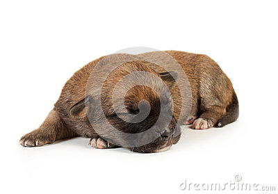 Cute sleeping little spotted havanese puppy dog
