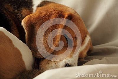 Cute sleeping puppy dog beagle