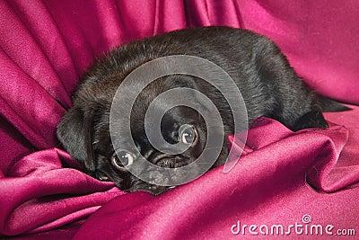 Cute sleepy pug puppy