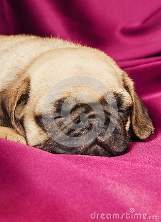 Cute sleepy pug puppy