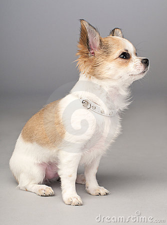 Cute small chihuahua puppy with glamorous collar