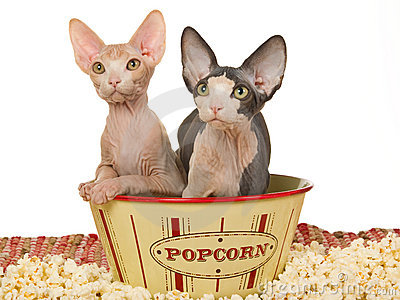 Cute Sphynx Kittens In Popcorn Bowl Stock Photo - Image: 10383380
