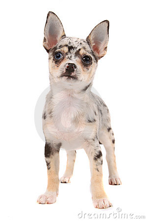 Cute spotted chihuahua