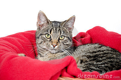 Cute tabby cat on red blanket