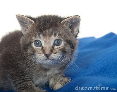 Cute tabby kitten with blue blanket