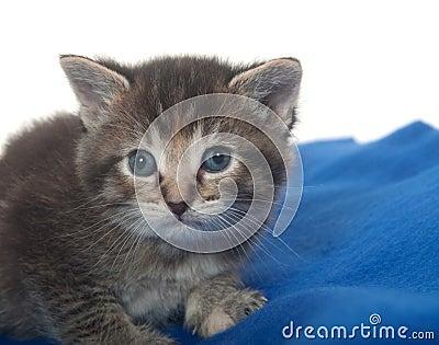 Cute tabby kitten with blue blanket