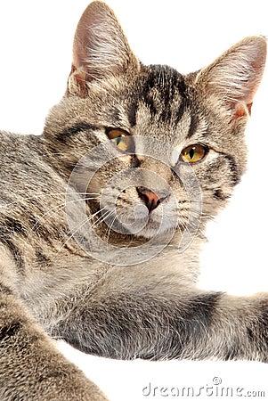 Cute Tabby Kitten face