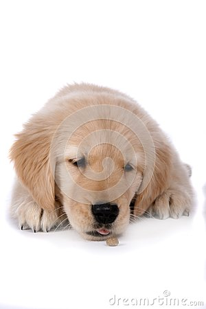 Cute tan puppy with it s chin resting on the floor
