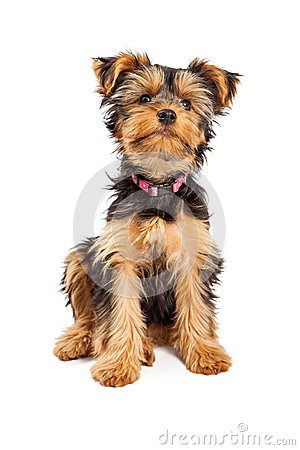 Free Cute Teacup Yorkshire Terrier Dog Royalty Free Stock Photo - 47833855