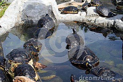 Cute terrapins in the water