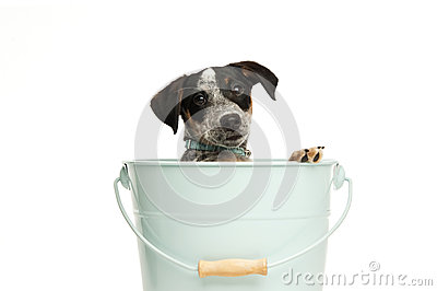 Cute terrier puppy in a bucket