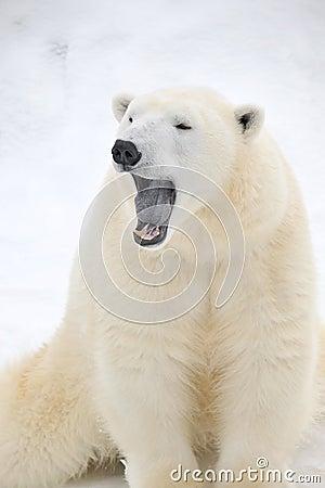 Cute tired Polar bear