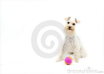 Cute White Dog With Ball Royalty Free Stock Photography - Image: 15950797