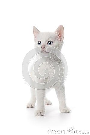 Cute White Kitten With Blue Eyes - 11.4KB