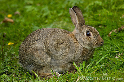 Cute Wild European Rabbit