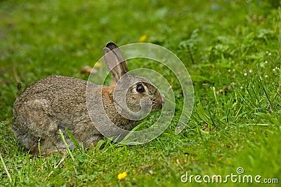 Cute Wild European Rabbit