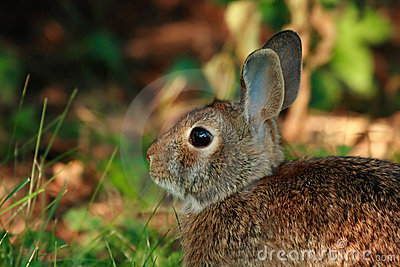 Cute wild rabbit