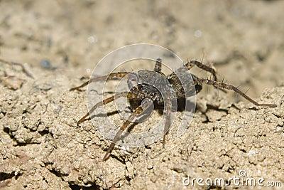 Cute Wolf spider