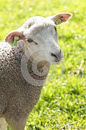 Cute wooly lamb looking
