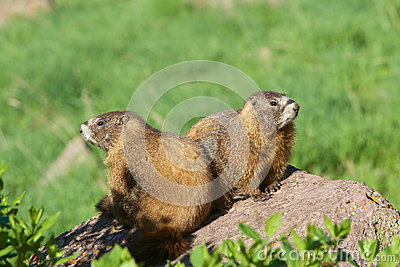 Cute Yellow-bellied Marmots