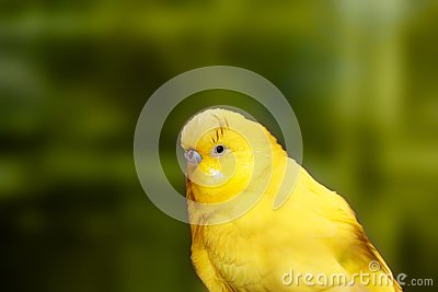Cute yellow lovebird closeup with dark black eyes