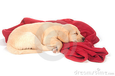 Cute yellow puppy sleeping with red blanket