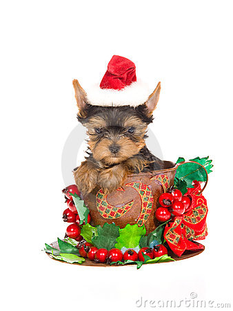 Free Cute Yorkie Pup With Santa Hat Inside Xmas Cup Royalty Free Stock Photo - 10151675