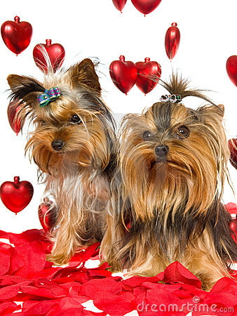 Cute Yorkie puppies with rose petals and hearts