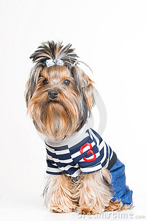 Cute Yorkshire terrier in pullover