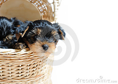 Cute Yorkshire terrier puppy dog sitting in a box