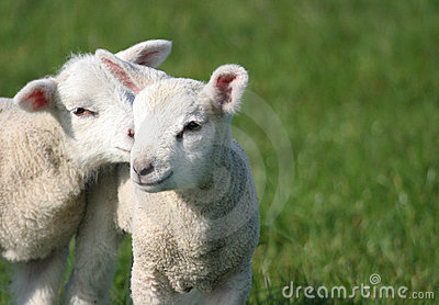 Cute Young Baby Lambs in Field