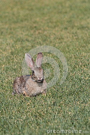 Cute Young Cottontail