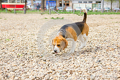 Cute young dog beagle sniffing