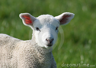 Cute Young Lamb in Field