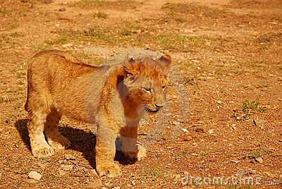 Cute young lion cub