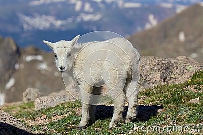 Cute Young Mountain Goat