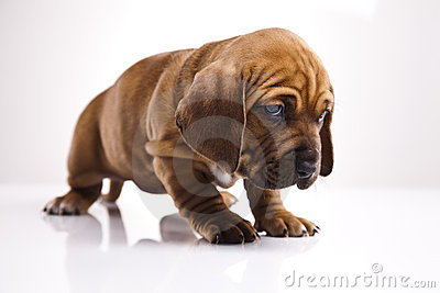 Cute young puppy dog