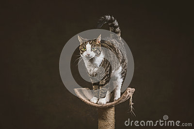 Cute young tabby cat with white chest standing on scratching post against dark fabric background.