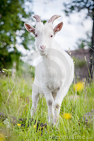 Free Cute Young White Goat Stock Photos - 42080483